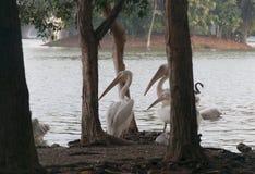 Birds in a lake. Birds swimming in Putrajaya lakes watching Royalty Free Stock Photo