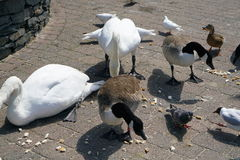 Birds at the lakeside of Windermere at Bowness-on-Windermere Stock Photos
