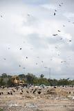 Birds at landfill. A lot of  big birds at landfill Stock Photos