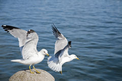 Birds Landing. Landing of the birds on the lake Royalty Free Stock Images