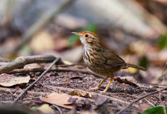 Birds, larks ground in a natural writer . Royalty Free Stock Photography