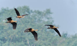 Birds, lesser whistling ducks Stock Photos