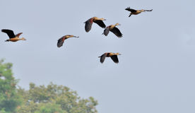 Birds, lesser whistling ducks Stock Photography