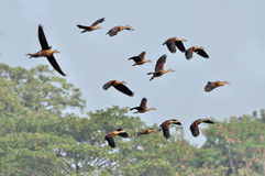 Birds, lesser whistling ducks Stock Images