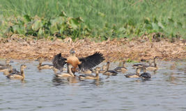 Birds, lesser whistling ducks Stock Photo