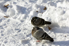 Birds Life in the Winter Royalty Free Stock Photography