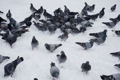A lot of birds are standing on snow.  Stock Photos