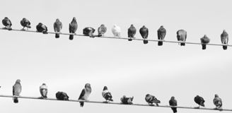 Birds on a line. Pigeons sitting on line with one white one in black and white stock image