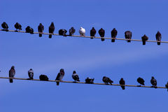 Birds on a line. Pigeons on a line with blue sky background stock photos