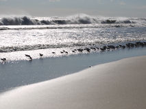 Birds line the shore at the edge of the waves. A line of birds all facing the same direction scours for food at the edge of the waves; choppy, wind-swept waves Royalty Free Stock Photography