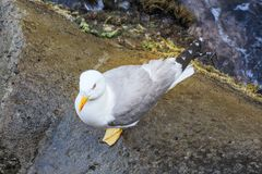 Seagull on the rocks. Royalty Free Stock Photos