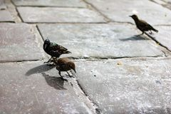 Birds in London. Outdoors animal in the city Stock Image