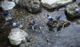 Birds look at a bicycle submerged in water. Feral pigeons look on at a bicycle submerged in a stream royalty free stock photo