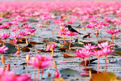 Birds on the lotus. Birds on the lotus in red lotus sea.Thailand Royalty Free Stock Photography