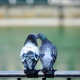 BIRDS' LOVE Royalty Free Stock Photography