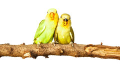 Birds love on isolated. Background Stock Photo