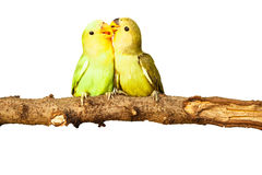 Birds love on isolated. Background Stock Photos