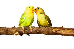 Birds love on isolated. Background Royalty Free Stock Photo