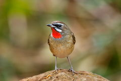 Birds,Luscinia calliope Siberian Rubythroat Male- Birds of Doi Sun Juh, Chiang Mai,Thailand. Royalty Free Stock Photography