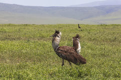 Birds in Maasai Mara, Kenya Royalty Free Stock Photography