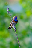 Birds. Male Bluethroat Luscinia svecica singing from post in breeding territory Royalty Free Stock Images