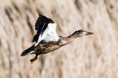 Mallard, Duck, Anas platyrhynchos. Birds - Mallard, Duck, Anas platyrhynchos Royalty Free Stock Photography