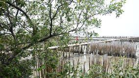Birds in Mangrove forest or Intertidal forest stock footage