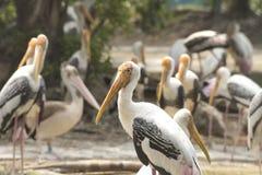 Birds marabu Stock Image