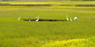 Birds in marshland Royalty Free Stock Images