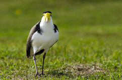 Birds - Masked Lapwing Royalty Free Stock Images