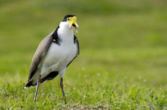 Birds - Masked Lapwing. The Masked Lapwing (Vanellus miles), previously known as the Masked Plover and often called the Spur-winged Plover or just Plover it's a Stock Images