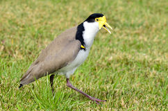 Birds - Masked Lapwing Stock Photography