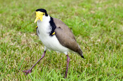 Birds - Masked Lapwing Stock Photos