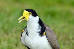 Birds - Masked Lapwing Royalty Free Stock Image
