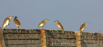 Birds Meeting. On wall,this birds standing for long time Royalty Free Stock Photo