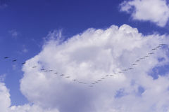 Birds Migrating. Flock of birds flying on a V formation. Blue sky with white clouds Stock Images