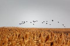 Birds. Migrating birds fly above across golden reeds Royalty Free Stock Photos