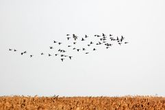 Birds. Migrating birds fly above across golden reeds Royalty Free Stock Photography