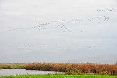 Birds migration. Birds flying over green meadow during migration season royalty free stock images