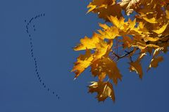Birds migration during autumn. Gold autumn leaves on deep blue sky and flock of birds during their migration Stock Photo