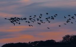 Birds migratory into the blue sky in sunset stock images