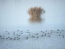Birds on Mihailesti lake, near Bucharest, Romania. Mihailesti is a dam lake near Bucharest, Romania. It is built on Argeș river Stock Images
