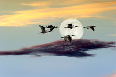 Birds Moon. Is a flock of birds flying at twilight against a c colorful full moon cloudscape Stock Images
