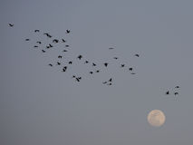 Birds and the moon. Flock of storks flying passed the full moon Stock Photography