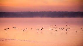 Birds. Morning fog above lake and flying birds Royalty Free Stock Image