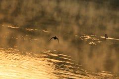 Birds. Morning fog above lake and flying birds Stock Photos