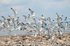 Birds in Motion. Seagulls taking flight from a rocky beach Royalty Free Stock Images