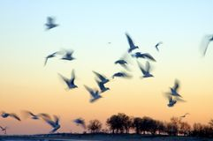 Birds in Motion at Sunset. Seagulls (ring-billed gull) flying at dusk Stock Images