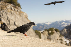 Birds and mountains. A black bird before a beautiful mountains-panorama Royalty Free Stock Images