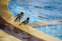 Birds mynah swimming in the pool. Close up. Thailand Stock Images